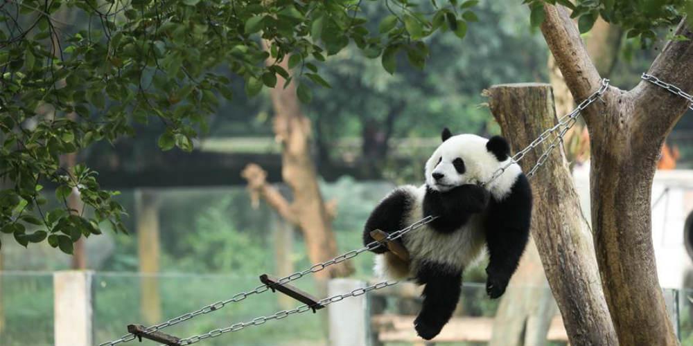 Vida feliz dos pandas-gigantes no jardim zoológico de Chongqing