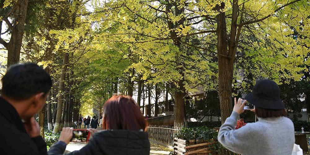 Paisagem de árvores de ginkgo atrai turistas em Yunnan