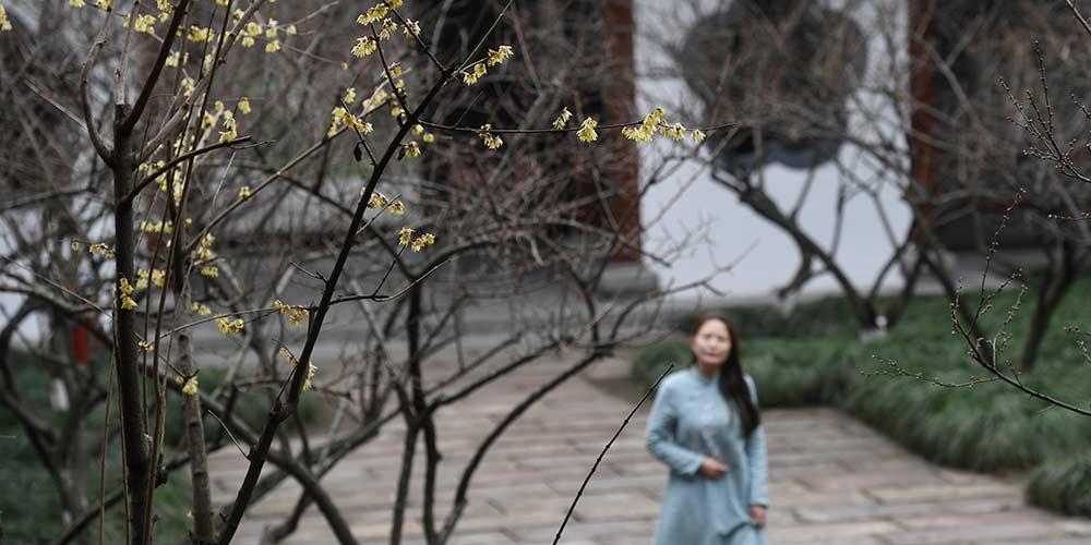 Flores de ameixeira em Hangzhou, no leste da China
