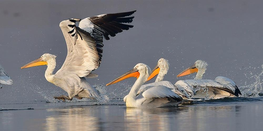Pelicanos-crespos passam inverno em Fujian, no sudeste da China