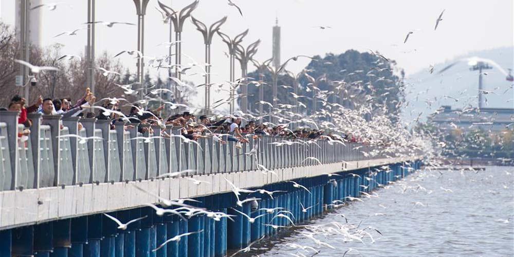 Gaivotas de cabeça negra voam para Kunming à procura de clima mais quente