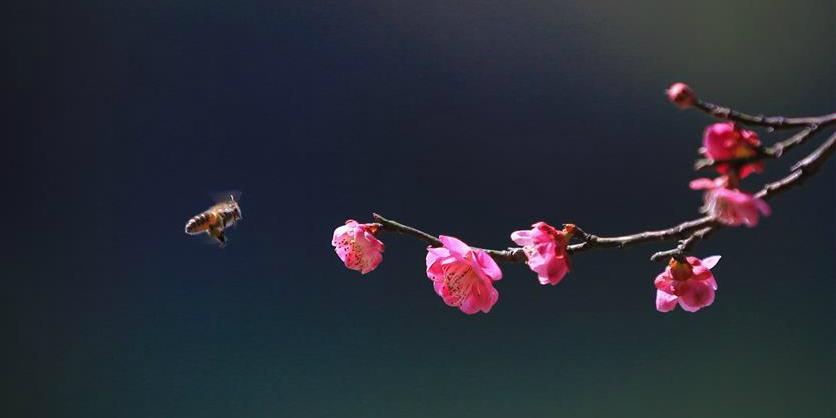 Floração de ameixeiras anunciam chegada da primavera na China
