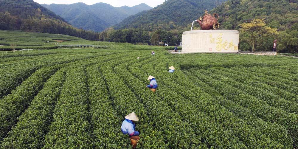 Agricultores colhem folhas de chá em toda a China