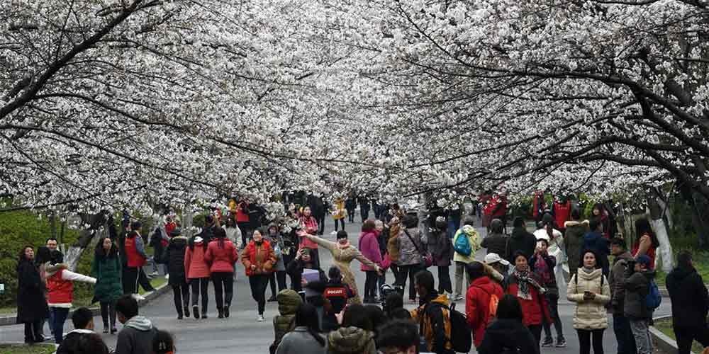 Galeria: flores de cerejeira na Universidade Florestal de Nanjing