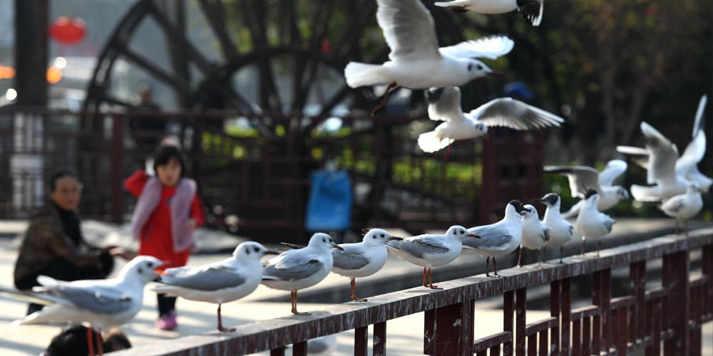 Cerca de 40.000 gaivotas-de-cabeça-negra passaram último inverno em Kunming, sudoeste da China