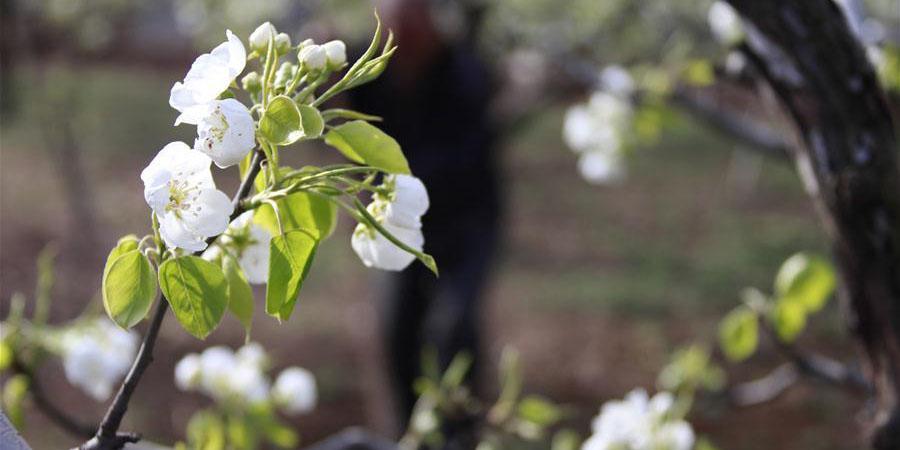 Flores de pera em Hebei