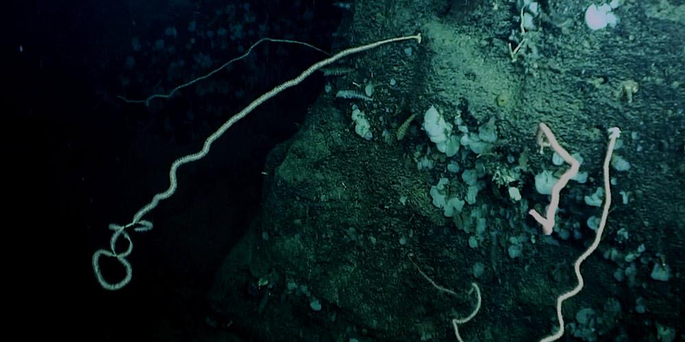 Cientistas descobrem coral de água fria no planalto Ganquan no Mar do Sul da China