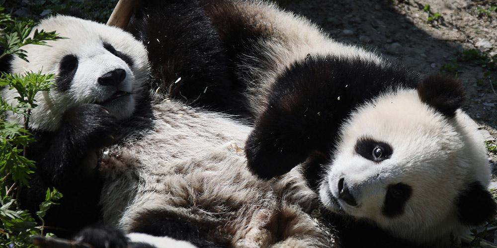 Base de proteção de Shenshuping abriga mais de 50 pandas gigantes em Sichuan, sudoeste da China