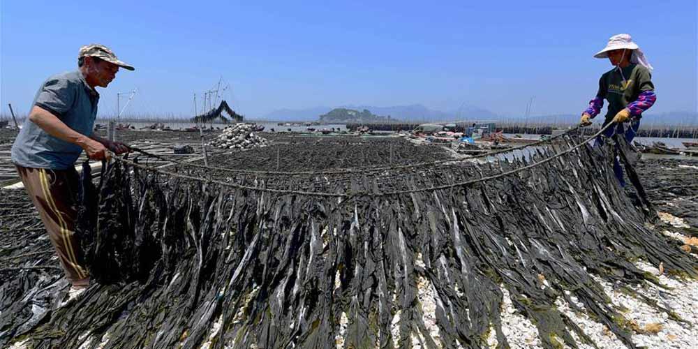 Alga marinha entra na época de colheita