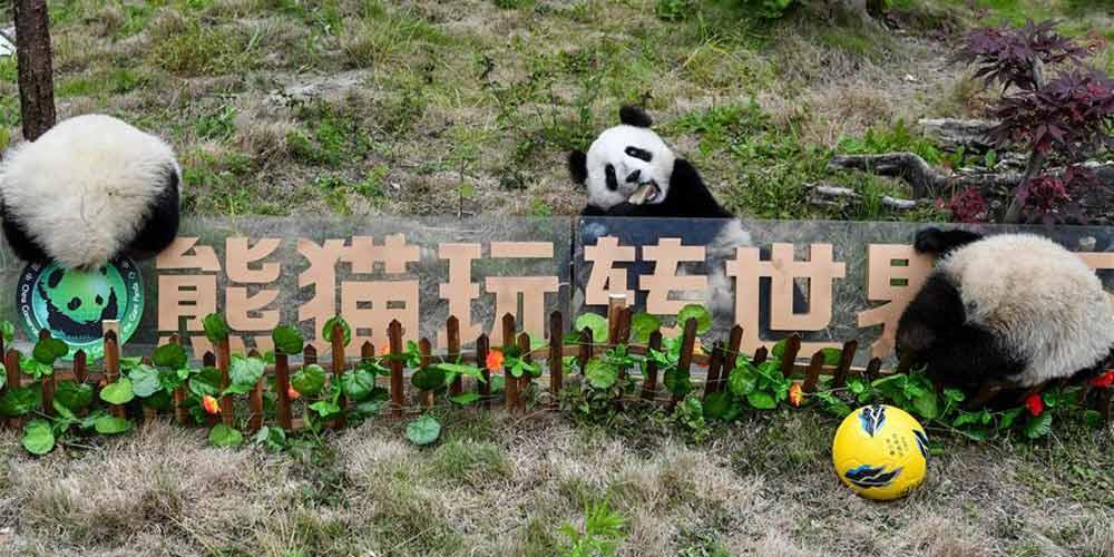 Pandas-gigantes participam de festa de futebol em centro de proteção de Sichuan