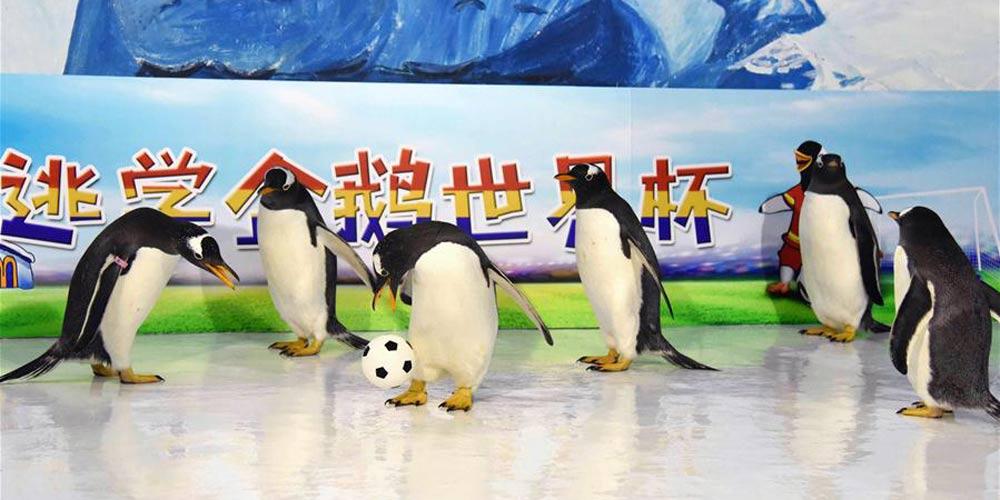 No clima da Copa do Mundo: Pinguins jogam futebol em Harbin