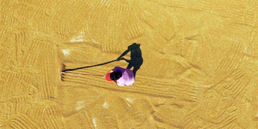 Agricultores secam trigo em Hebei