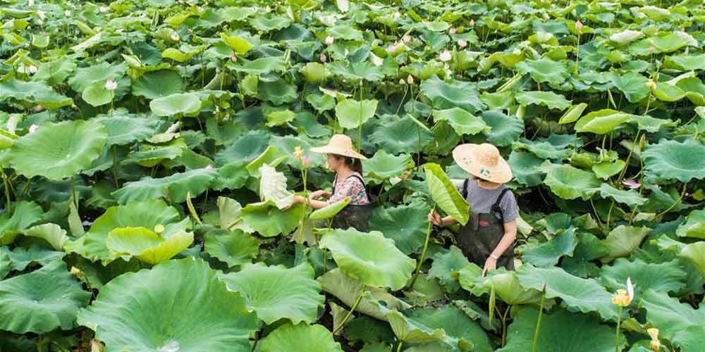 Plantio ecologicamente correto melhora condições de vida e desenvolve turismo rural em aldeia de Zhejiang