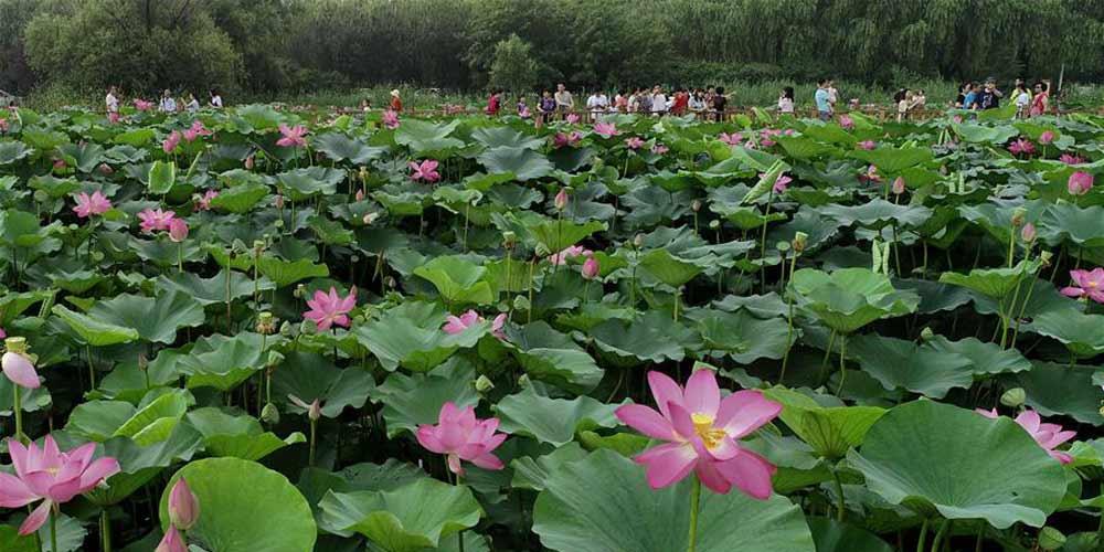 Turistas aproveitam as lótus no Nanhu Park em Hebei