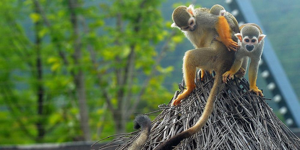 Macacos-esquilo se divertem ao ar livre em zoológico de floresta em Suzhou, leste da China