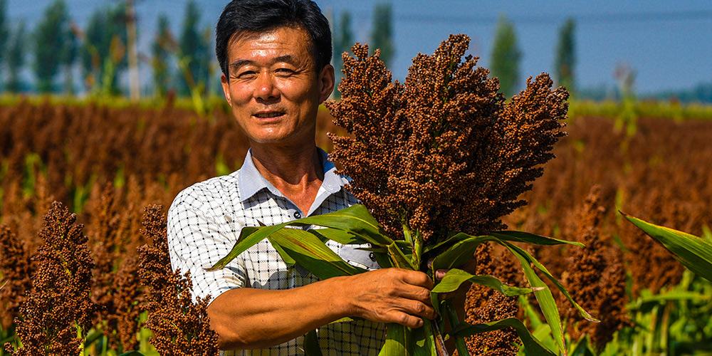 Colheita de sorgo e outros grãos pequenos ajuda aldeões no combate à pobreza em aldeia de Hebei, norte da China