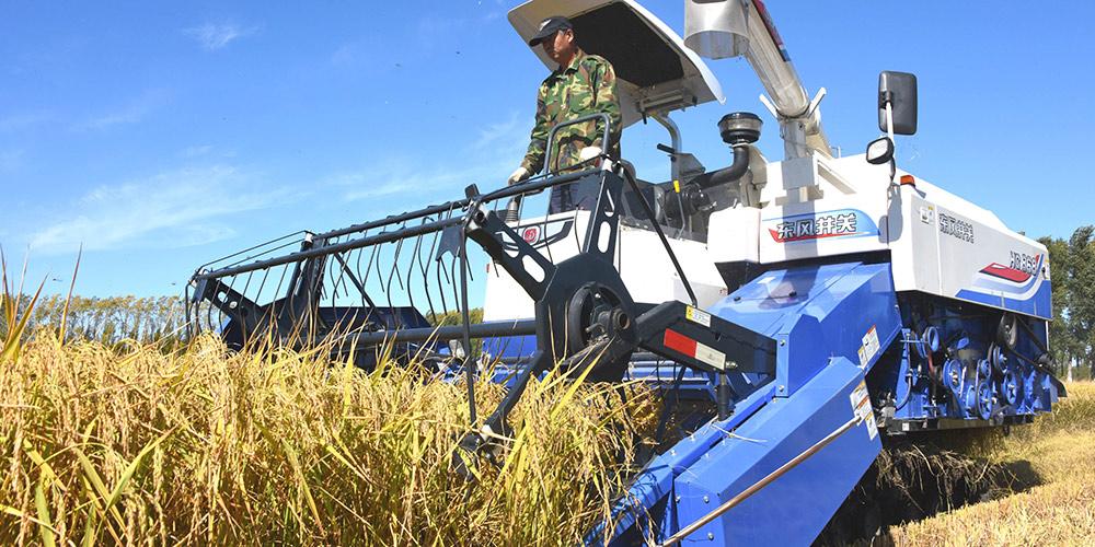 Temporada de colheita de arroz inicia em Heilongjiang, nordeste da China