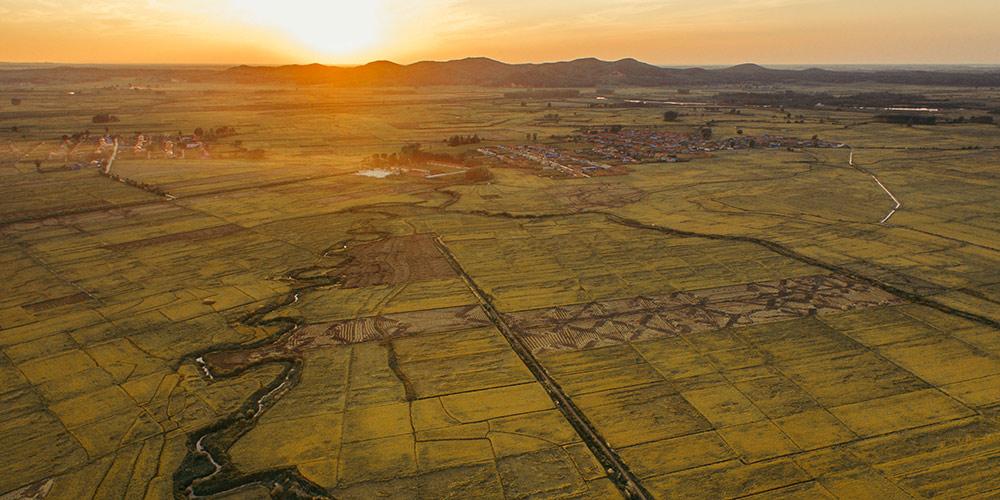 Época de colheita nos campos de arroz de Jilin