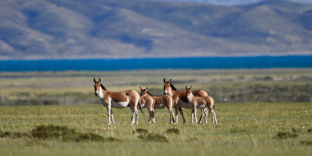 Galeria: Animais selvagens na Reserva Natural Nacional Changtang do Tibet, sudoeste da China