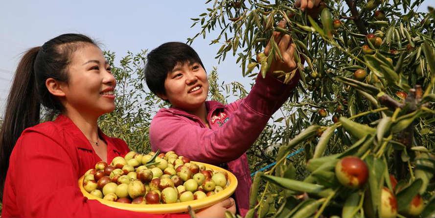 Agricultores colhem jujubas de inverno em Shandong