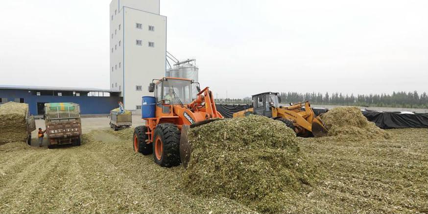 Agricultores produzem silagem em Hebei