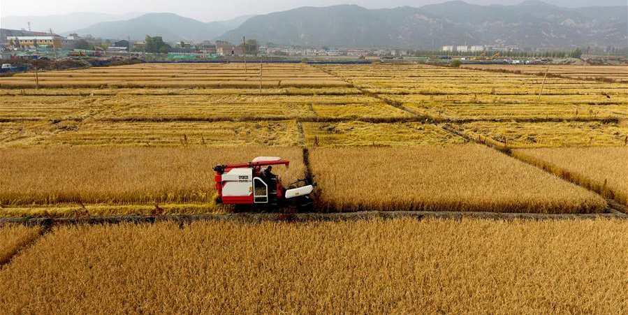 Colheita de outono nos campos de arroz de Shanxi