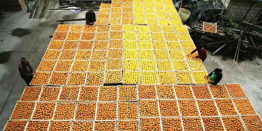 Aldeões secam caquis em Guangxi