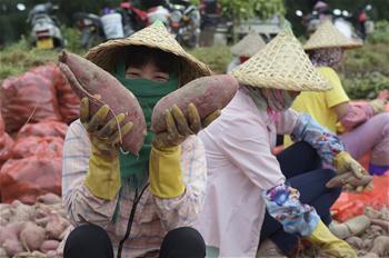 Aldeões colhem batata-doce em Fujian