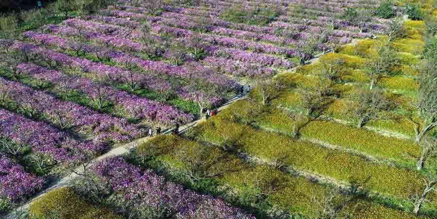 Turistas visitam jardim de cosmos em Jiangsu