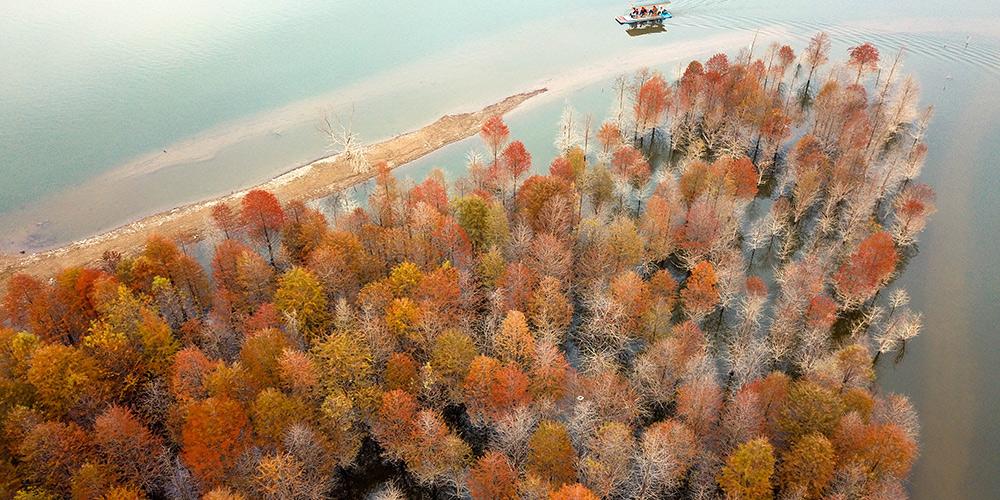Pinheiros acrescentam tons dourados à paisagem de reservatório em Anhui