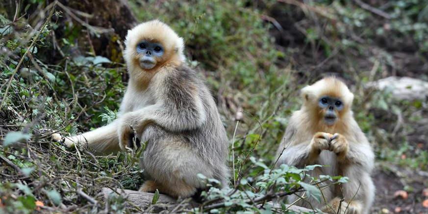 Macacos dourados na Reserva Natural Nacional de Yuhe, província de Gansu