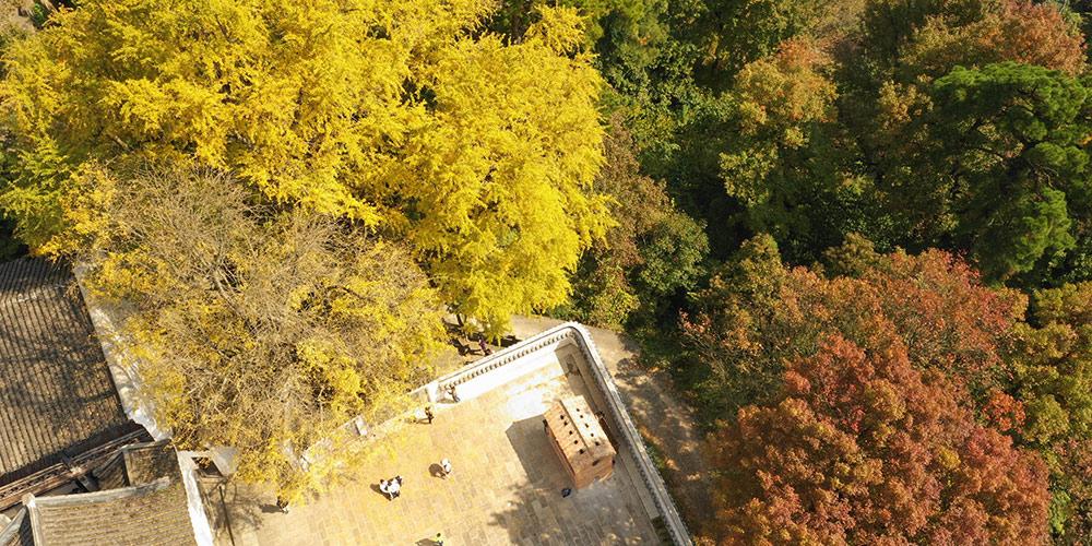 Paisagem do outono: Árvores de gingko