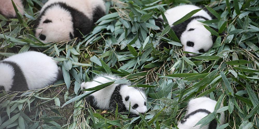 População mundial de pandas-gigantes em cativeiro aumenta para 548