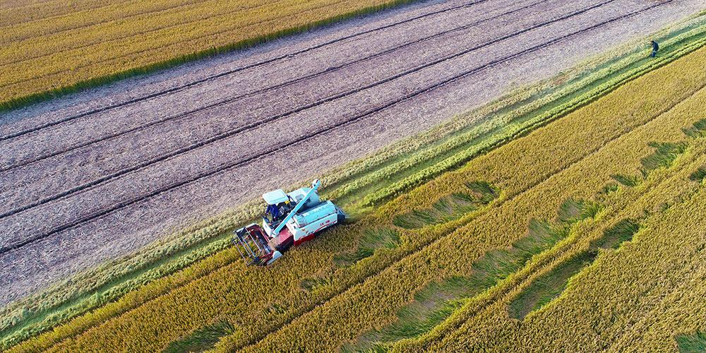 Galeria: Colheita de arroz em Jiangsu