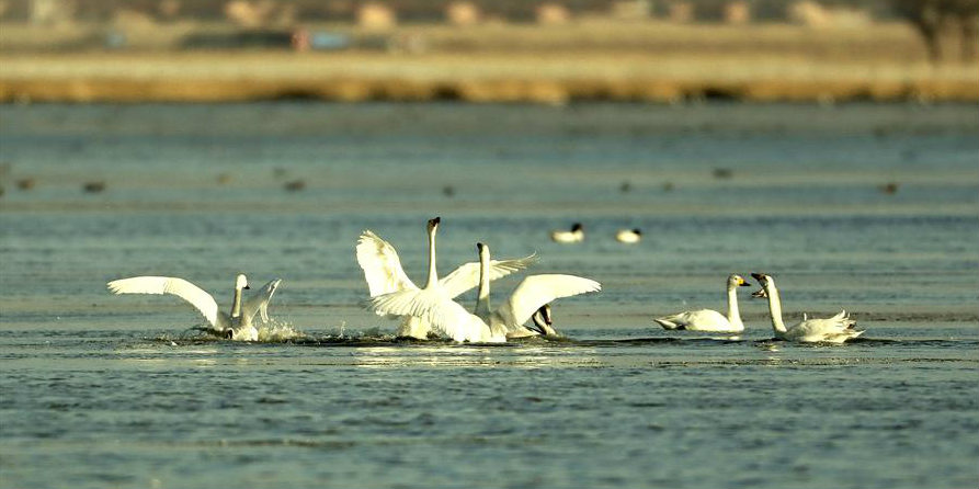 Zhangjiakou: Parada para pássaros migratórios no inverno