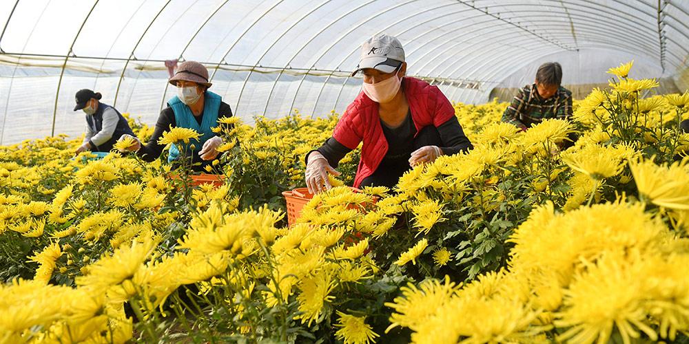 Plantio e processamento de crisântemos aumentam renda de moradores em aldeia de Hebei