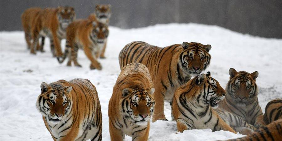 Tigres siberianos no Centro de Criação de Felinos Hengdaohezi da China em Hailin