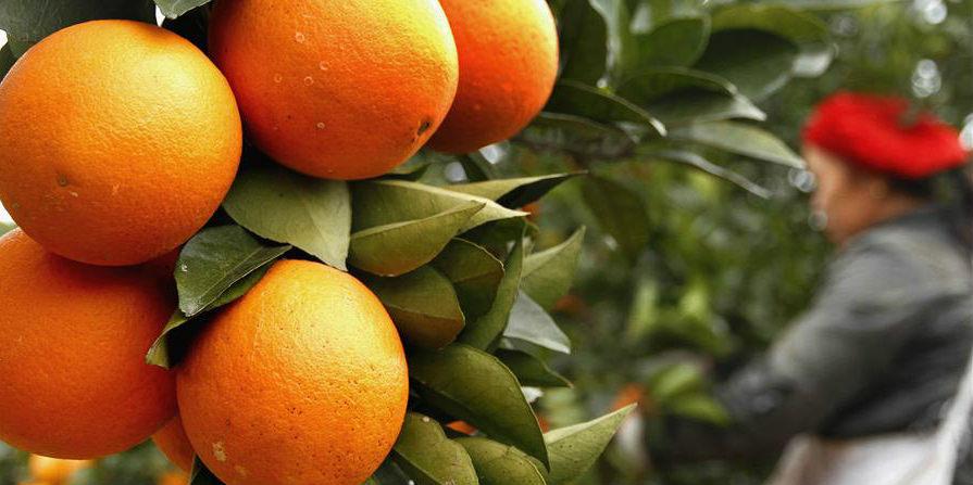 Fotos: Colheita de laranja de umbigo orgânica em Jiangxi