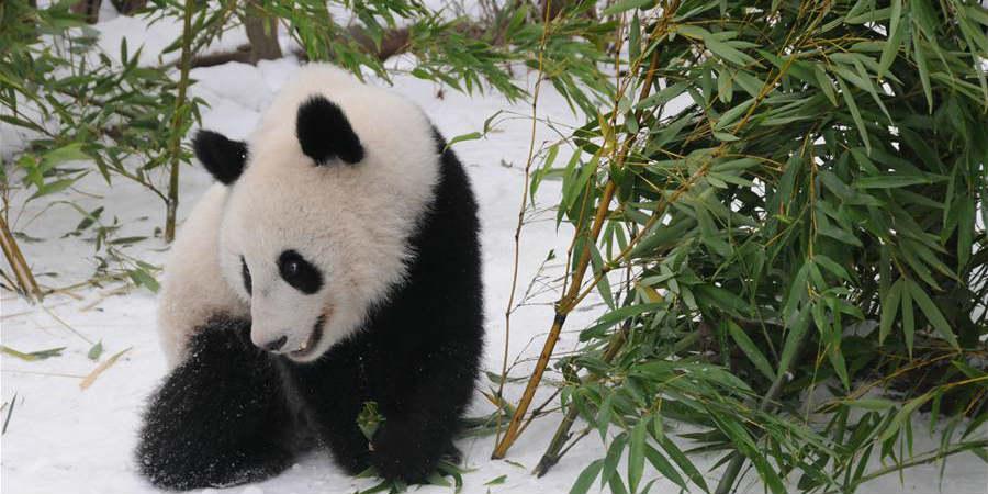 Pandas gêmeos do Zoológico de Viena retornam à China