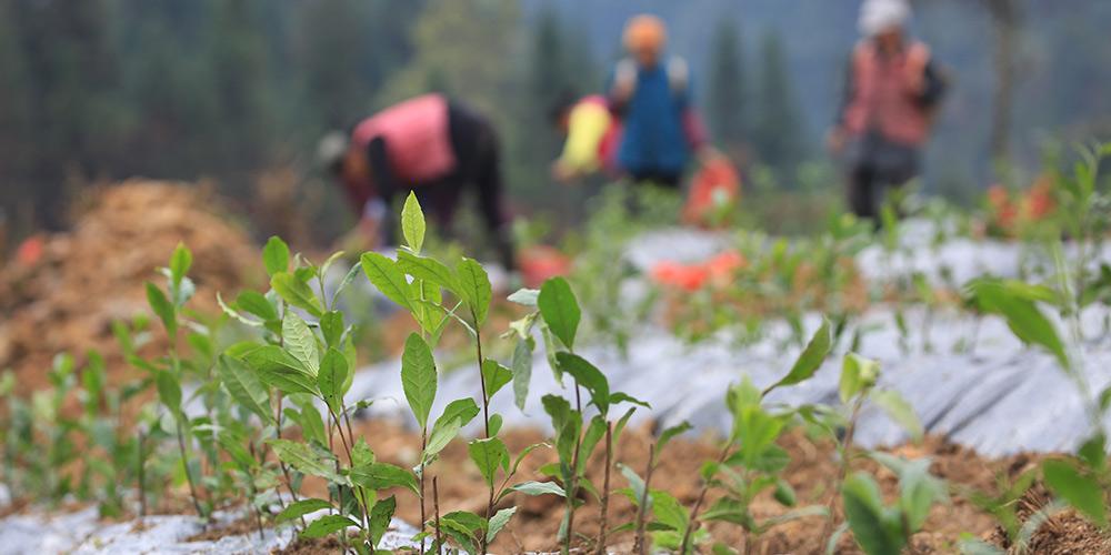 Plantação de chá promove alívio da pobreza em distrito no centro da China