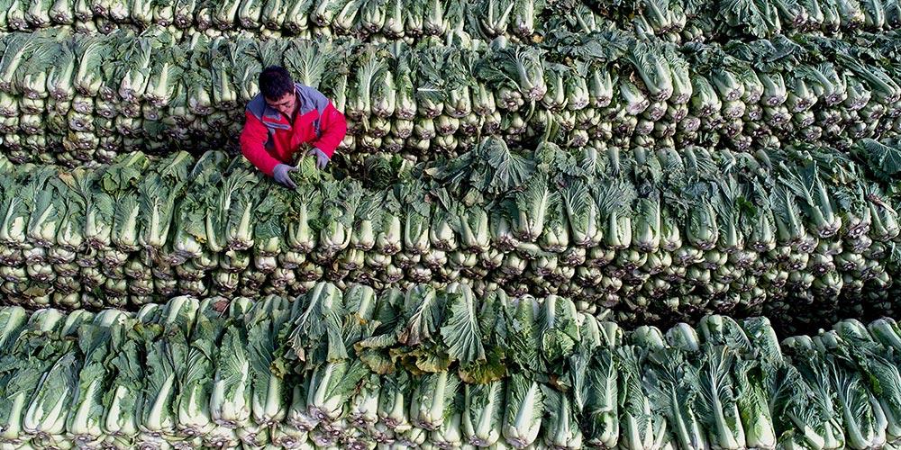 Cultivo de hortaliças fomenta desenvolvimento e aumenta renda de agricultores em Hebei, norte da China