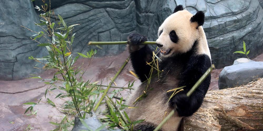 Pandas-gigantes chegam a Huangshan, província de Anhui, leste da China