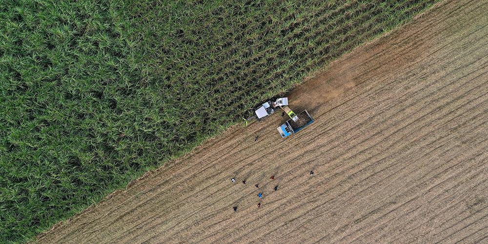 Colheita de cana-de-açúcar em Guangxi, sul da China