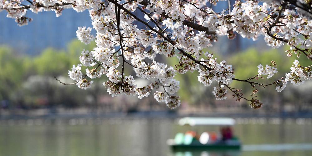 Galeria: Flores de cerejeira no Parque Yuyuantan em Beijing