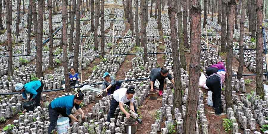 Distrito de Guizhou aproveita terras ociosas para cultivo de fungos comestíveis