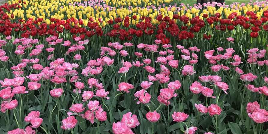 Tulipas florescem no Parque Zhongshan em Beijing