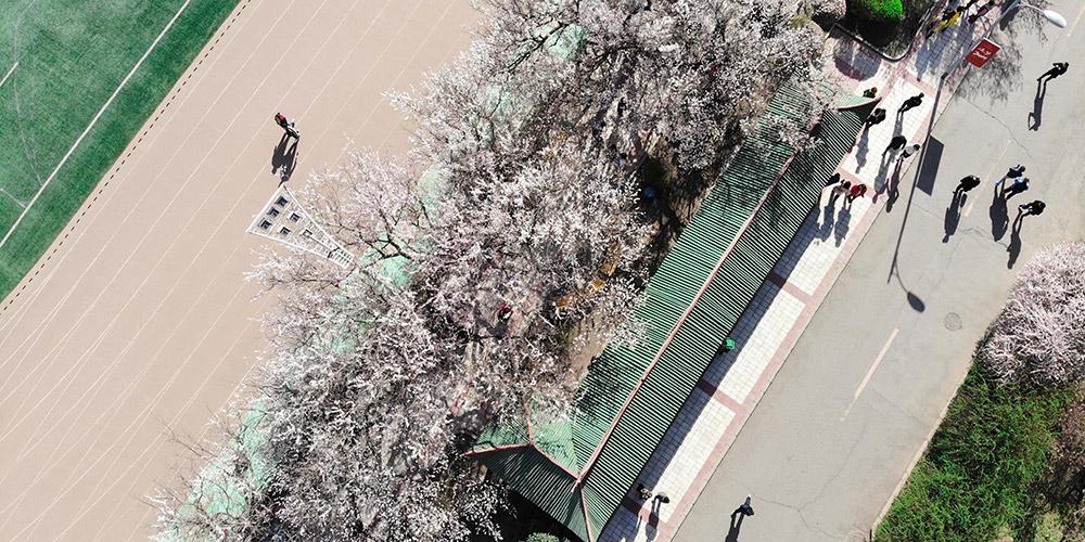 Fotos: árvores de damasco em floração na Universidade de Engenharia de Harbin