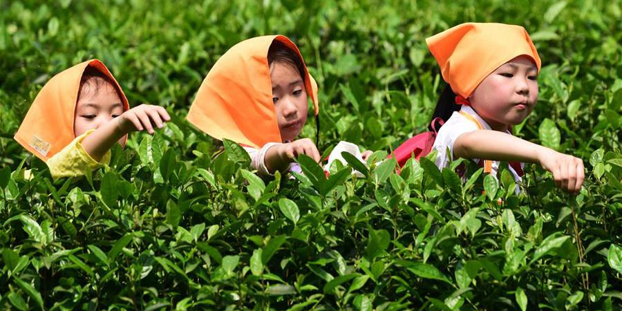 Estudantes aprendem sobre cultura do chá em plantação de Chongqing