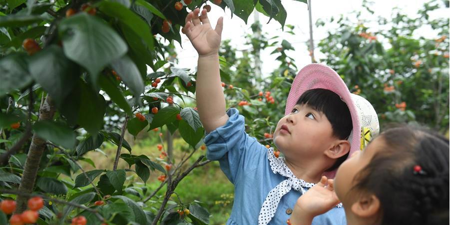 Crianças de jardim de infância colhem cerejas em Zhejiang