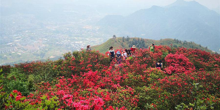 Primavera: azaleias em floração em Guizhou